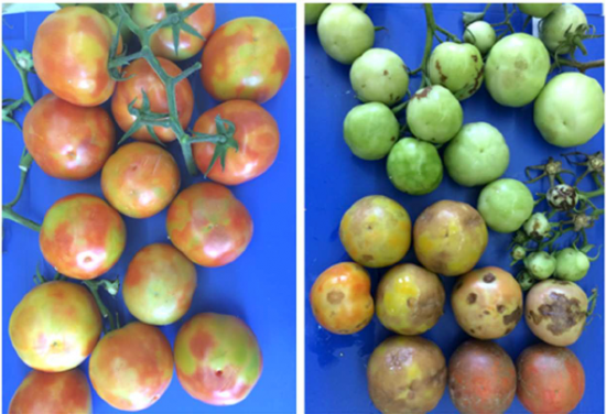 Tomato Brown Rugose Fruit Virus (ToBRFV)